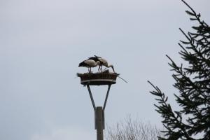 Störche, beim Nestbau